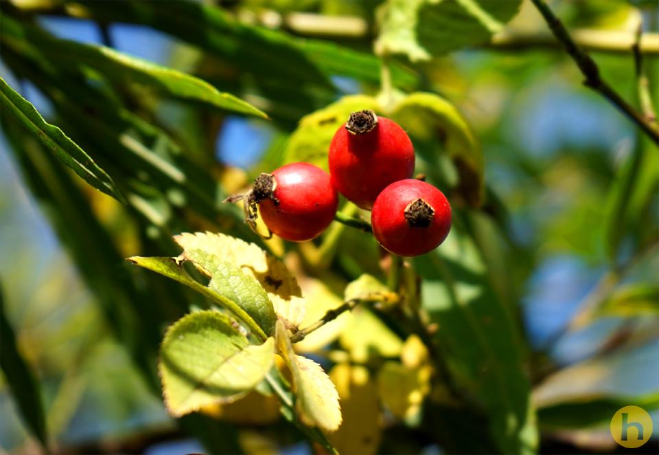 Nussfrucht
